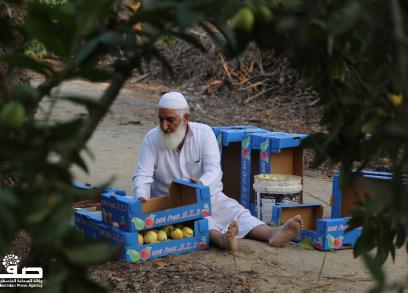 حصاد الجوّافة في خانيونس جنوبي القطاع