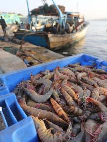 صيد وفير ببحر غزة