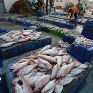 بحر غزة يجود بخيراته
