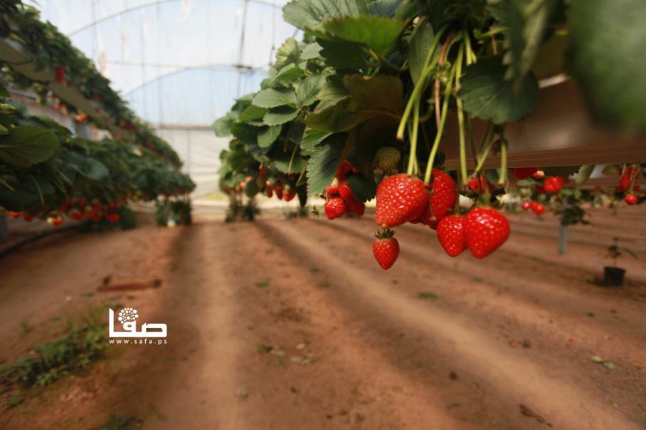قطف الفراولة وتجهيزها للتصدير في غزة