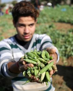 مزارعون يقطفون البازيلاء من أحد الحقول في غزة
