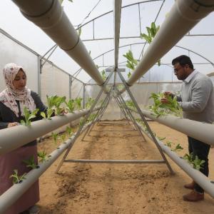 مهندسان زراعيان شقيقان يُنتجان الخس بالزراعة المائية