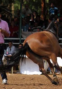 بطولة الأراضي المقدسة الأولى لجمال الخيول العربية الأصيلة بأريحا