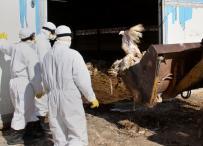إعدام آلاف الدواجن المصابة بانفلونزا الطيور في الضفة