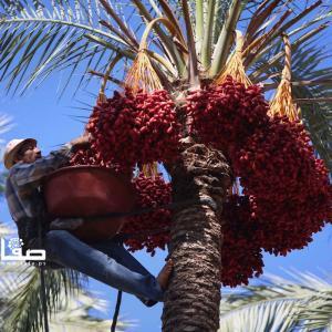 جني البلح بمدينة دير البلح وسط قطاع غزة