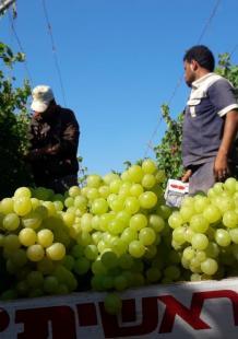 بدء موسم قطف العنب البناتي بغزة