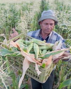 جني محصول الذرة في قطاع غزة