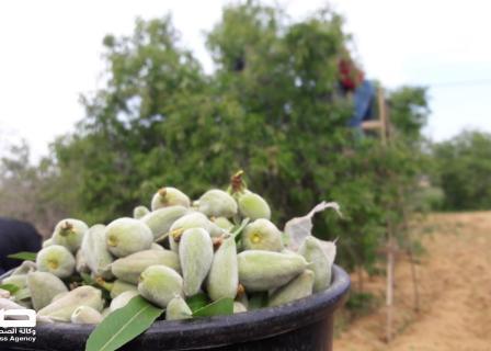 مزارعون يواصلون قطف ثمار اللوز خانيونس
