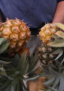 ثمار الأناناس تُقطف لأول مرة بغزة
