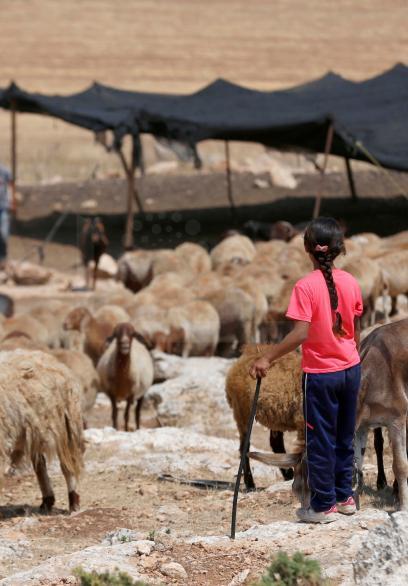 طفلة ترعى الأغنام في الأراضي المهددة بالضم