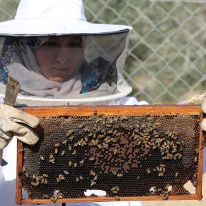 فتاة فلسطينية تجمع العسل في مزرعة للنحل جنوب القطاع