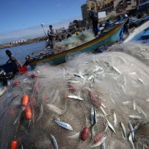 صيادو غزة يرزقون بكميات وفيرة من سمك السردين