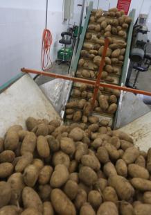 أول مصنع نسوي لتصدير البطاطا للخارج والاستهلاك المحلي