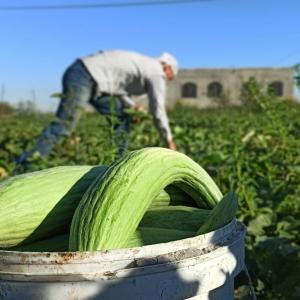 جني ثمار الفقوس من حقول مدينة رفح جنوب قطاع غزة