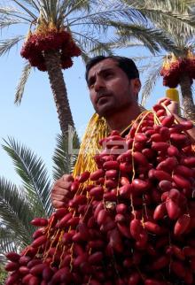موسم قطف البلح في قطاع غزة لهذا العام
