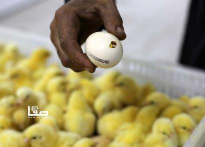 فقّاسة صيصان في مدينة غزة