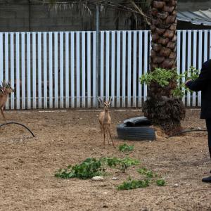الفلسطيني يربي بعض الغزلان الصحراوية في مزرعة صغيرة