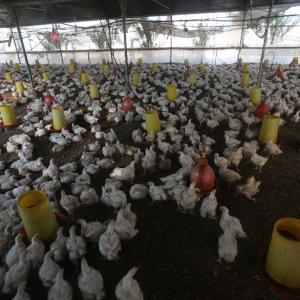 وفرة دجاج في غزة مع انخفاض سعره