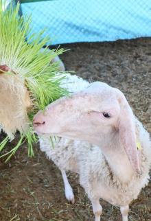 مزارع بخانيونس يحقق اكتفاء بغذاء ماشيته لارتفاع أسعار العلف