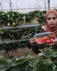 جني الفراولة المعلقة بغزة