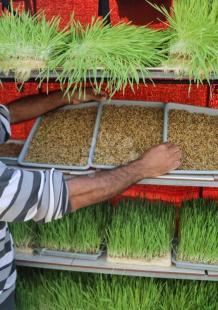 مزارع ينتج الشعير في خان يونس