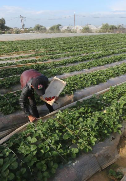 افتتاح موسم الفراولة بغزة