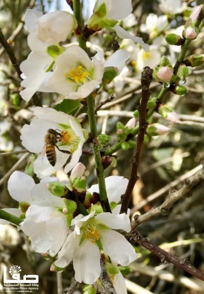موسم تفتح الأزهار في فلسطين