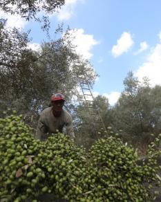 غزة: رحلة الزيتون من الشجرة إلى المعصرة