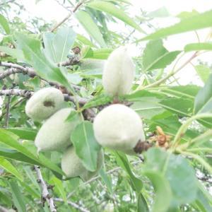 قطف ثمار اللوز شرقي خان يونس