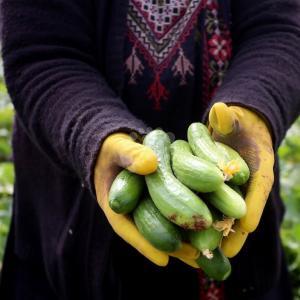 حصاد الخيار في نابلس
