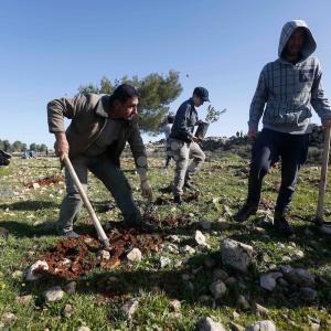 ناشطون يزرعون أشجار زيتون قرب غوش عتصيون