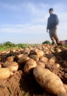 حصاد البطاطا في بيت لاهيا