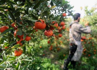 جني الحمضيات في غزة