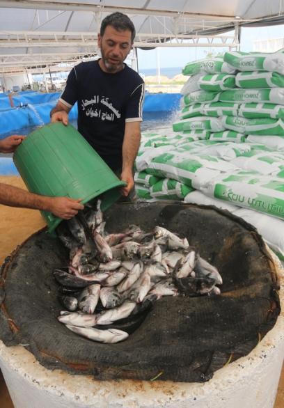 الاستزراع السمكي بقطاع غزة