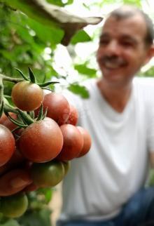 للمرة الأولى.. نجاح زراعة الطماطم السوداء في غزة