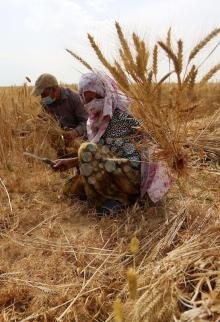 حصاد القمح في خان يونس