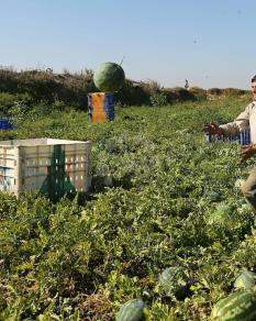 موسم جني البطيخ في غزة