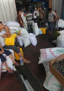 بدء موسم جني الزيتون في غزة