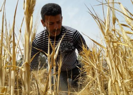 موسم حصاد الشعير بغزة