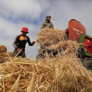 حصاد القمح على حدود خانيونس