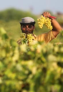 قطف العنب في غزة