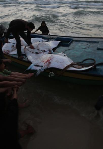 أطنان من سمك الوطواط بشباك صيادي غزة