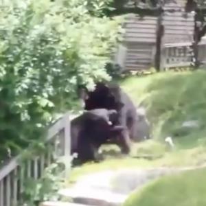 عراك عنيف بين اثنين من صغار الدببة وسط حي سكني