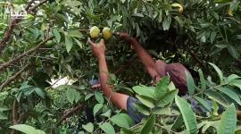 موسم قطف الجوافة في غزة