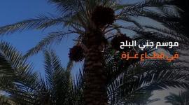 موسم جني البلح في قطاع غزة